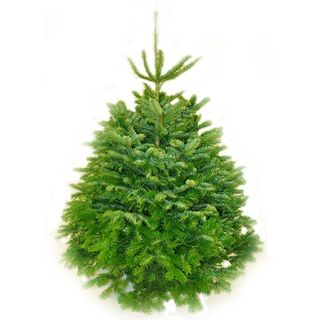 Nordman Fir from Pines and Needles
