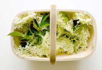 Elderflower Foraging
